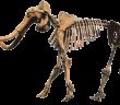 szkielet mamuta